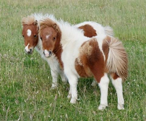 Roadside Shetland Ponies